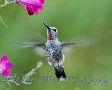 2016-07-28 - Anna's Hummingbird
