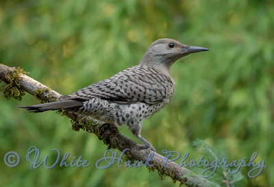 2016-07-11 - Northern Flicker