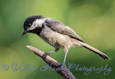 2016-07-27 - Black-capped Chickadee