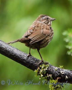 2016-07-22 - Song Sparrow