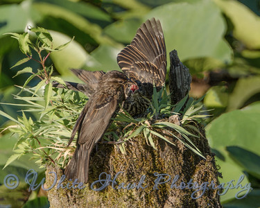 2016-07-26 - Mother and Fledgeling RedWinged Blackbird