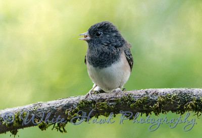 2016-07-31 - Dark-Eyed Junco eating a snail