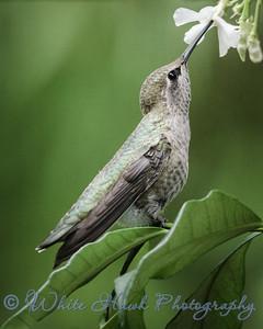 2016-07-09 - Anna's Hummingbird