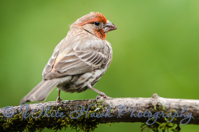 2016-07-07 - House Finch