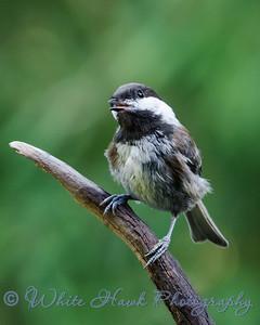 2016-07-25 - Chestnut Sided Chickadee