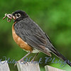 2016-07-23 - American Robin