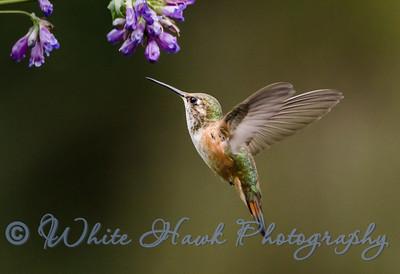 2016-06-22 - Rufous Hummingbird