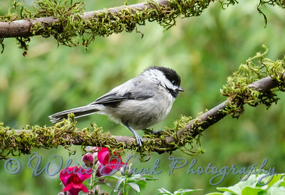 2016-06-10 - Black-capped Chickadee