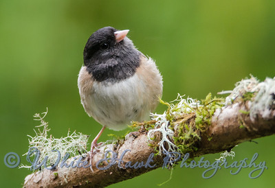 2016-06-02 - Dark-Eyed Junco