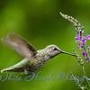 2016-06-29 - Anna's Hummingbird