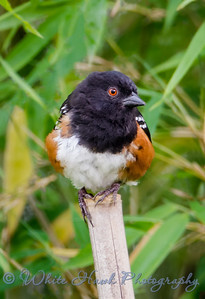 2016-06-11 - Spotted Towhee