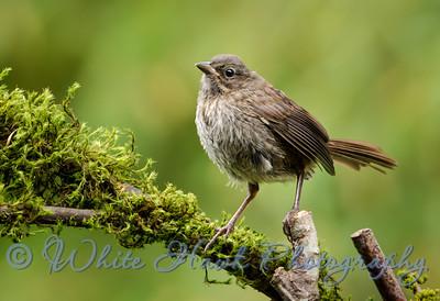 2016-06-08 - Song Sparrow
