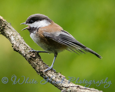 2016-06-17 - Chestnut - backed Chickadee
