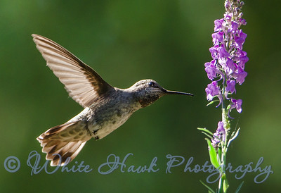 2016-06-07 - Anna's Hummingbird