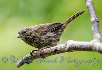 2016-06-20 - Song Sparrow