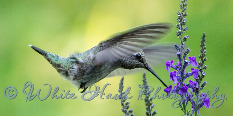 2016-06-27 - Anna's Hummingbird