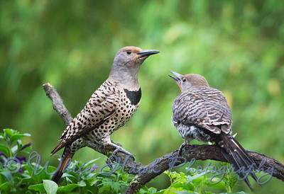 2016-06-18 - Northern Flickers