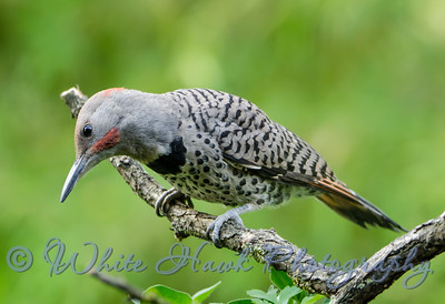 2016-06-16 - Northern Flicker
