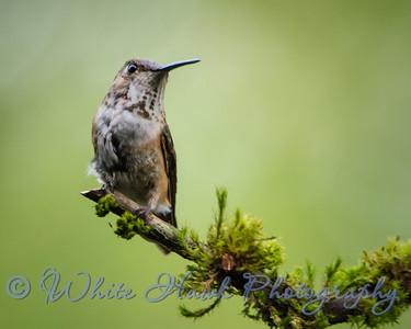 2016-06-06 - Rufous Hummingbird, female