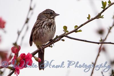 2016-03-06 - Song Sparrow