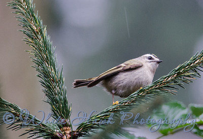 2016-03-09 - Golden Crowned Kinglet