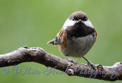 2016-03-10 - Chestnut Sided Chickadee