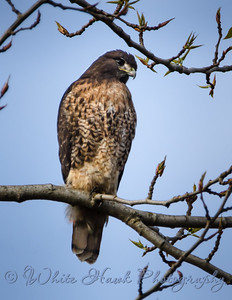 2016-03-22 - Red-Tailed Hawk