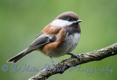 2016-03-03 - Chestnut-backed Chickadee