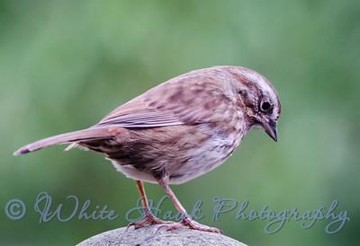 2016-03-15 - Song Sparrow