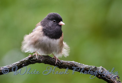 """2016-03-01 - Male -  Dark-Eyed Junco. """"Oh! This wind is messing up my beautiful feathers!"""""""