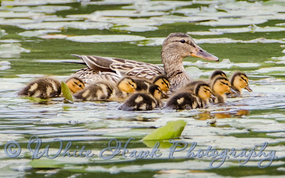 2016-05-03 -  Female Mallard Duck with Chicks