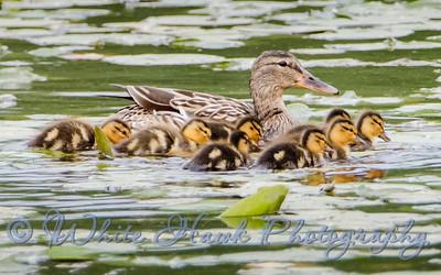 2016-05-03 -  Female Mallard Duck with Chicks