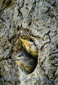 2016-05-09 - European Starling
