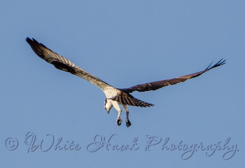 2016-05-05 - Osprey