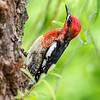 2016-05-02 - Red-Breasted Sapsucker