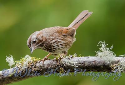 2016-05-25 - Song Sparrow