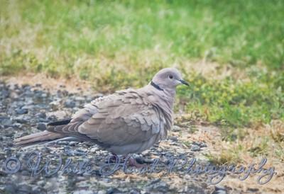 2016-05-19 - Eurasian Collared-Dove