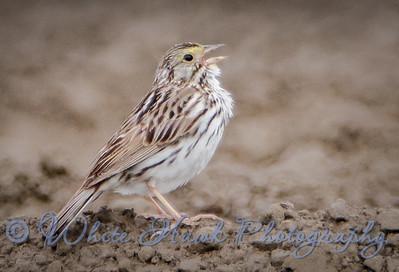 2016-05-21 - Savannah Sparrow
