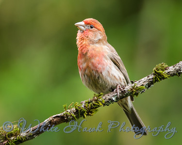 2016-05-23 - House Finch, male
