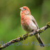 2016-05-23 - House Finch, male