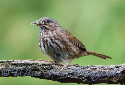 2016-05-14 - Song Sparrow With Lunch for Babies!