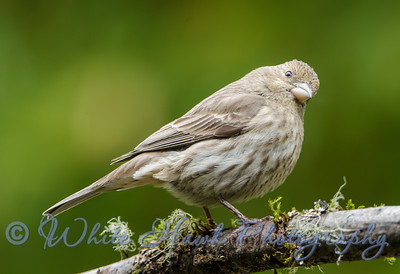 """2016-05-24 - House Finch, """"Does this limb make my butt look big?"""""""