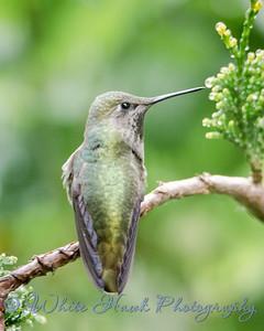 2016-05-16 - Anna's Hummingbird