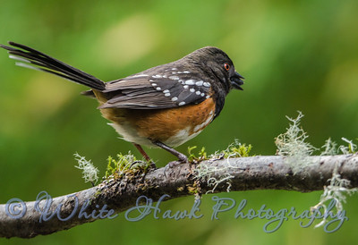 2016-05-28 - Spotted Towhee