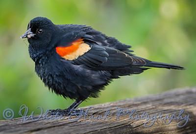 2016-05-13 - Red-winged Blackbird, male
