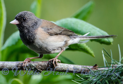 2016-05-07 - Dark-Eyed Junco