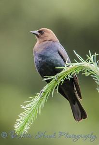 2016-05-26 - Brown-headed Cowbird