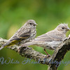 2016-05-22 - Pine Sisken and House Finch Fledgling sharing a limb.