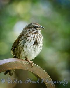 2016-05-30 - Song Sparrow