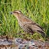 2016-05-01 - Red-winged Blackbird, female
